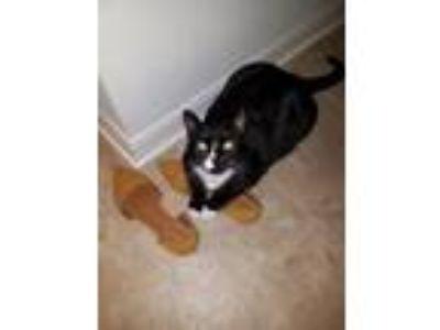 Adopt Prim a Black & White or Tuxedo Domestic Shorthair / Mixed cat in Lakeland