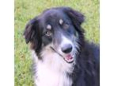 Adopt Gus a Black Australian Shepherd / Mixed dog in Loxahatchee, FL (25896429)
