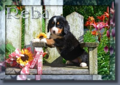 Reba Female Bernese Mountain Dog AKC