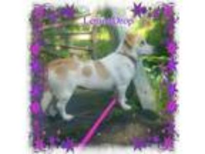 Adopt LemonDrop a Beagle