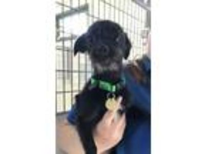 Adopt Pineapple a Terrier