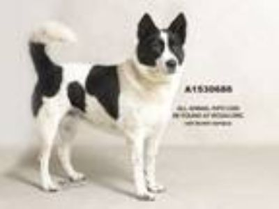 Adopt Dog a Border Collie, Mixed Breed