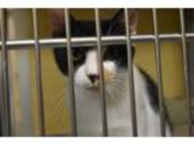 Adopt MAINE a Calico or Dilute Calico Domestic Shorthair / Mixed (short coat)