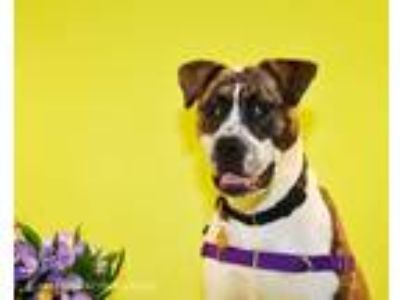 Adopt Diego a American Staffordshire Terrier / Mixed Breed (Medium) / Mixed dog
