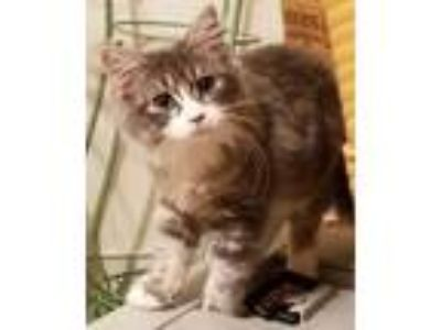 Persian Kittens - Syracuse Classifieds - Claz org