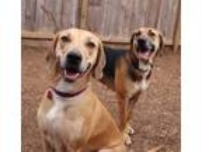 Adopt Margo and Mallory a Hound (Unknown Type) / Great Dane / Mixed dog in