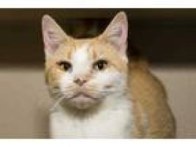 Adopt Cherry a White Domestic Shorthair / Domestic Shorthair / Mixed cat in