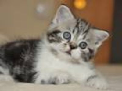 Batiste Scottish Fold In A Black Tabby Silver Colo
