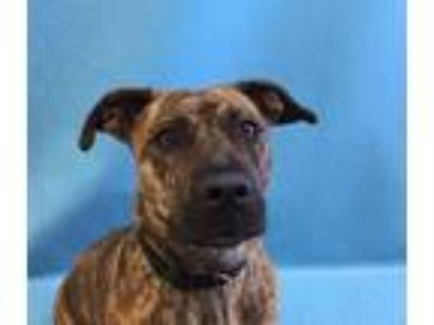 Adopt Brenda a American Staffordshire Terrier, Mixed Breed