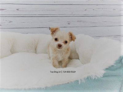 Long-Haired Chihuahua puppy -Male-Papaya