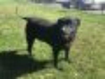 Blue Labrador Retriever Dog