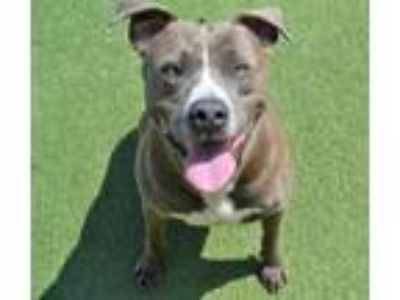 Adopt Tupac a Pit Bull Terrier