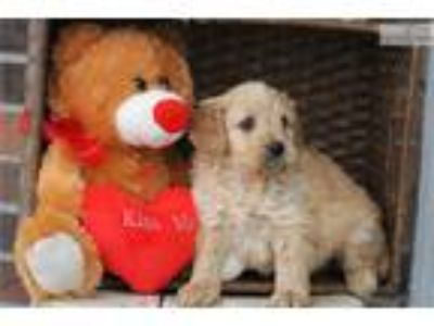 Mini F1b Goldendoodle Male