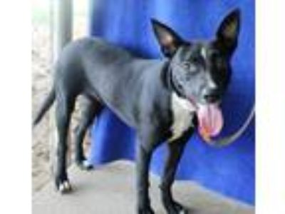Adopt Madea a Australian Cattle Dog / Shepherd (Unknown Type) / Mixed dog in