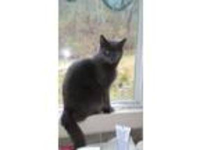 Adopt Precious and Sheeba a Gray or Blue Domestic Shorthair / Mixed cat in