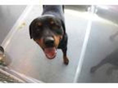Adopt LUCIUS a Black - with Tan, Yellow or Fawn Rottweiler / Mixed dog in