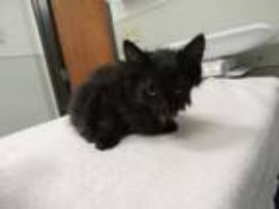 Adopt 4Male a Domestic Long Hair, Domestic Short Hair