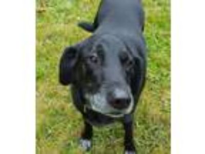 Adopt Sammy a Black Labrador Retriever