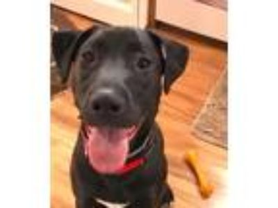 Adopt Milky Way a Black - with White Pit Bull Terrier / Boxer / Mixed dog in