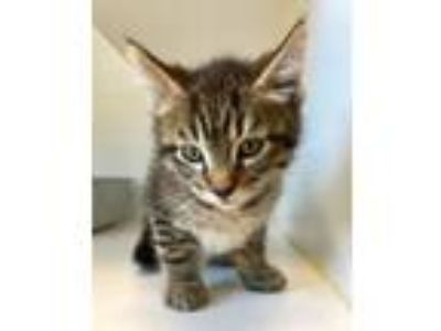 Adopt Mousse a Domestic Short Hair