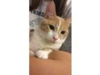 Adopt Tuna a Orange or Red (Mostly) American Shorthair cat in Orlando