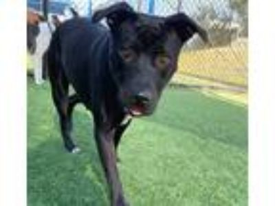 Adopt RUTHIE a Black - with White American Pit Bull Terrier / Mixed dog in