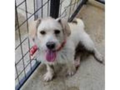 Adopt Louie a Wirehaired Terrier