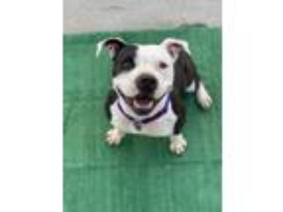 Adopt Elva a Black - with White Pit Bull Terrier / Mixed dog in LOS ANGELES