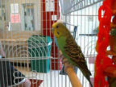 Adopt KIWI a Green Parakeet - Other / Mixed bird in Plano, TX (25558397)