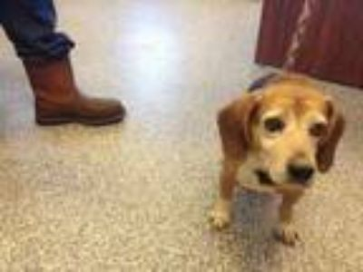 Adopt Spud a Brown/Chocolate Beagle / Mixed dog in Pickens, SC (25257239)