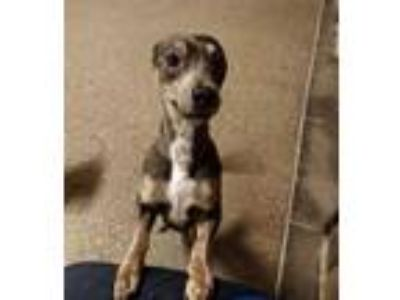Adopt Cookie a Brown/Chocolate Manchester Terrier / Mixed dog in Fort Worth