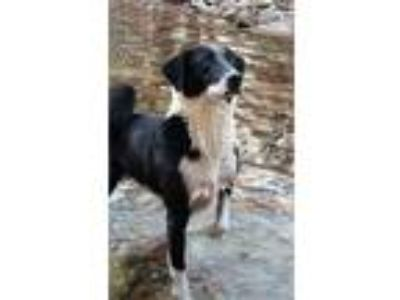 Karelian Bear Dog - Border Collie Mix For Adoption in Nashville TN -Sly