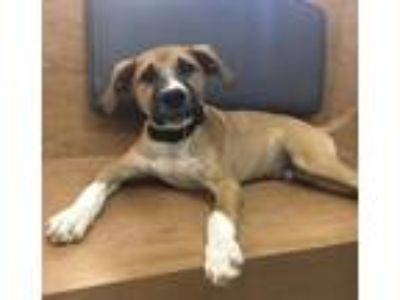 Adopt Forest Lonestar a Tricolor (Tan/Brown & Black & White) Labrador Retriever
