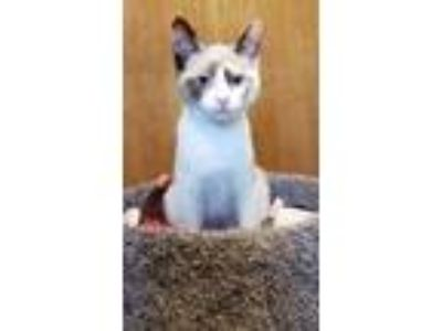 Adopt Scarlet Witch a Domestic Short Hair, Siamese