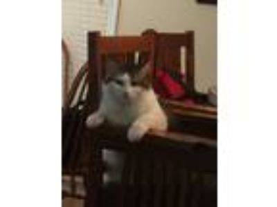 Adopt Barrett a White (Mostly) Domestic Longhair cat in Omaha, NE (24966518)