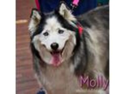 Adopt Molly a Black - with White Siberian Husky / Mixed dog in Carrollton