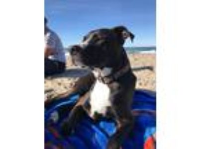 Adopt Tank a Black - with Gray or Silver Pit Bull Terrier / Mixed dog in Salem