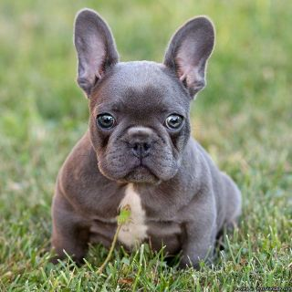 fRENCH BULLDOG PUPPIES (spoiled rotten and handled daily)
