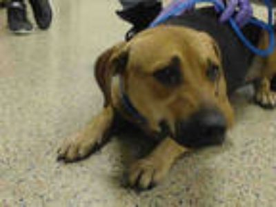 Adopt SALLY a Brown/Chocolate - with Black German Shepherd Dog / Mixed dog in