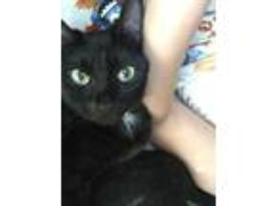 Adopt Guinness (formerly Abby) a Domestic Short Hair