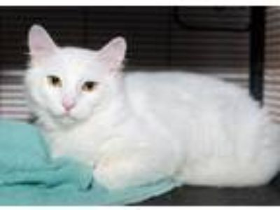 Adopt Jonathan a Domestic Medium Hair, Domestic Short Hair