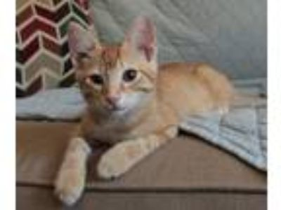Adopt O'keefe a Domestic Shorthair / Mixed cat in FREEPORT, FL (23255293)