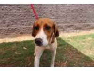 Adopt Daphne* a White Hound (Unknown Type) / Mixed dog in Anderson