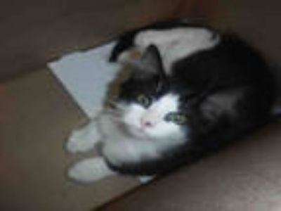 Adopt PIERRE a Black & White or Tuxedo Domestic Mediumhair / Mixed (medium coat)