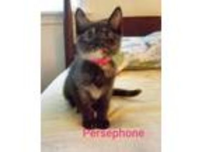 Adopt Persephone a Domestic Shorthair / Mixed (short coat) cat in Sanford