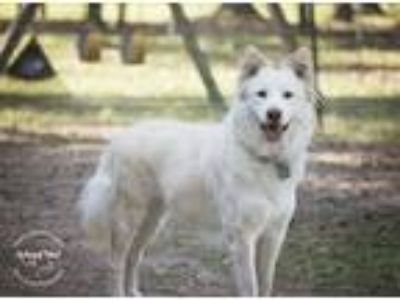 Adopt Sadie a White - with Tan, Yellow or Fawn Siberian Husky / Shepherd