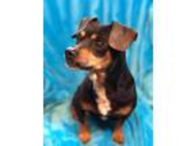 Adopt Queenie a Black - with Brown, Red, Golden, Orange or Chestnut Dachshund /