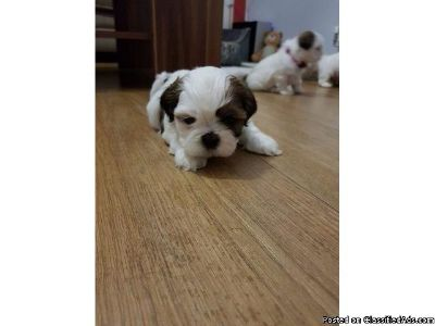 Little Shih tzu puppies available for good home