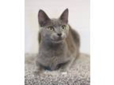 Adopt *Blu a Gray or Blue Domestic Shorthair (short coat) cat in Sioux Falls