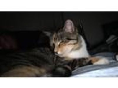Adopt Sweet Pea a Brown Tabby Domestic Shorthair / Mixed (short coat) cat in